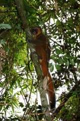 lemur banbou 1.JPG