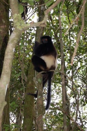 lemur  1.JPG