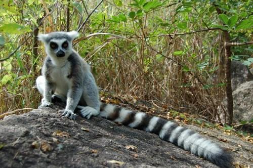 lemur cata 1.JPG