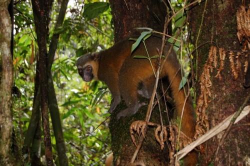 lemur banbou 2.JPG