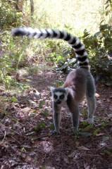 lemur cata 3.jpg