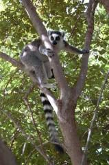 lemur cata 2.JPG