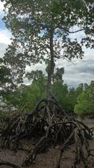 la végétation de la mangrove 2.JPG