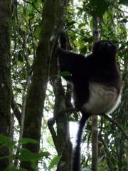 lemur indri 1.JPG