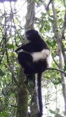 lemur indri 2.JPG